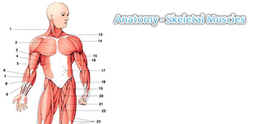Anatomy---Skeletal-Muscles