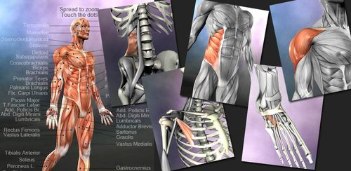 Learn Muscles: Anatomy v1.5.8 + data